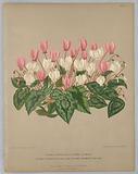 """Cyclamen Hederaefolium and Cycla Hederaefolium Flore Albo, from A C Van Eeden's """"Flora of Haarlem"""""""