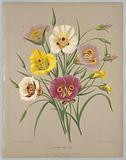 """Calochorti Spec. Div. , from A C Van Eeden's """"Flora of Haarlem""""."""