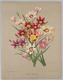 "Sparaxis Tricolour Varr. , from A C Van Eeden's ""Flora of Haarlem""."