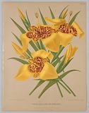"Tigridia Conchiflora Var. Canariensis, from A C Van Eeden's ""Flora of Haarlem""."