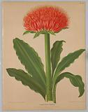 """Haemanthus Puniceus, from A C Van Eeden's """"Flora of Haarlem"""""""