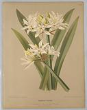 "Pancratium Illyricum, from A C Van Eeden's ""Flora of Haarlem"""