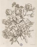 """Plate from """"Le Livre de toutes sortes de fleurs d'après nature"""""""