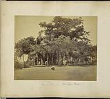 Calcutta; Banian Tree in Barrackpore Park, general view