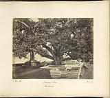 Large Banian Tree at Hurdwar