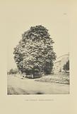 The Everett Horse-Chestnut