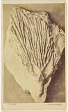 Fossil of a crinoid
