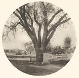 The Washington Elm
