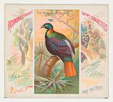 The Impeyan Pheasant, from Birds of the Tropics series for Allen & Ginter Cigarettes