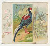 Swinhoe Pheasant, from Birds of the Tropics series for Allen & Ginter Cigarettes