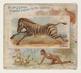 Zebra, from Quadrupeds series for Allen & Ginter Cigarettes