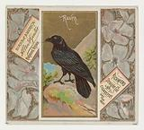 Raven, from the Birds of America series for Allen & Ginter Cigarettes