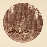 The Pride of the Forest – Calaveras Grove