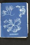 Furcellaria fastigiata