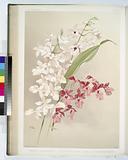 Hybrid calanthes victoria regina bella burfordiense