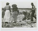 Migratory laborers cutting celery, Belle Glade, Florida, January 1941