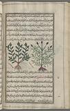 Love-in-a-mist (Nigella sativa), mihlânthiyûn [n. p.], Two varieties are shown.