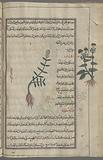 Shepherd's purse (Capsella bursa-pastoris), tlâsfî [!] [center], Peppergrass, Hoary Cress (Lepidiym draba), dharâbî