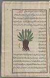 Helenium or elecampane (Inula helenium), al-râsan