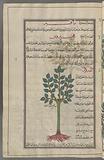 Black poplar (Populus nigra), hahîrûs, i, E, Al-hawr al-rûmî
