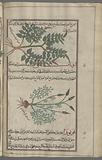 Enchanter's Nightshade (Circaea lutetiana), qîrqihâ [n. p.] [top], Tuberous lousewort (Pedicularis tuberosa), ûnânthî.