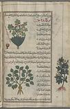"Two varieties of ""lesser celandine"", al-mâmîrân al-asghar [top and margin], Figwort (Ranunculus ficaria), awthûnnâ"