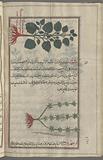 Red Dead Nettle (Galeopsis ladanum), ghâliyûfsîs [n. p.] [top], Lady's Bedstraw (Galium verum), 'âliyûn.