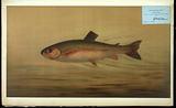 The Rainbow Trout, Salmo irideus