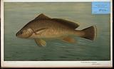 The Yellow Perch, Perca flaverscens