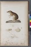 Mammifères: 1, Péramèle de dorey, Mâle, (Nouvelle-Guinée), 2, Son crâne, 3L'estomac, 4, Poils grossis