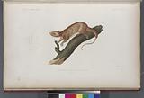 Phalanger à front concave, Jeune àge, (Nouvelle-Irlande.)