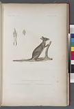 Mammifères: 1, Kanguroo d' aroe, jeune mâle, (Nouvelle-Guine), 2, Patte Antériwure, grandeur naturelle