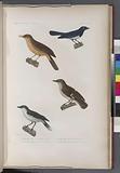 Oiseaux: 1, Gobe-mouche à gros bec, (Nouv.-Guinée.), 2, Gobe-mouche à bande, (Nouv.-Hollande.)