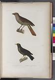 Oiseaux: 1, Tangara Grive, Mâle, (Nouv.-Zelande.), 2, Merle de vanikoro, femelle, (Vanikoro.)