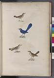 Oiseaux: 1, Troquet resplendissant mâle, 2, Traquet à croupion jaune, 3, Traquet grivelé, mâle, 4, Traquet â long bet