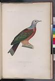 Columbe à ventre roux, mâle, (Nouvelle-Guinée.)