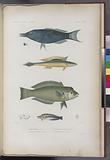 Poissons: 1, Comphose bleu, 2, Malacanthe rayé, 3, Girelle à front bombé, 4, Aspidonte à ruban
