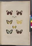 Lepidoptères: 1, Cyllo amble, Femelle, Boisd, (Nouvelle-Irlande.), 2, La même vue en dessous, 3, Callidryade Endeer