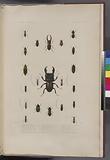 Coléoptères: 1, Cicindéle funéraire, Boisd, (Doreï.), 2, Seatite à fossettes, Dej, Var, (Afrique.)