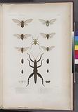 1. Hyperhomale vireseente servil: (Nouv-Irlande.), 2, Eurycanthe horrible, Boisd, (Doreï.), 3, Cigale de Doreï, Boisd.