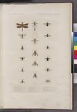 Nevroptères, Hymenoptères et diptères: 1, Libillule de manado, Boisd, (Manado.), 2, Thynnus austral, Boisd