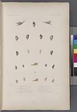 Mollusques: 1, – 3, Hélice trois lignes, 4, 5, Hélice melon, 6, 7, Variéte de la Sainte Hérele, 8, 9, Hélice, 10, - 11