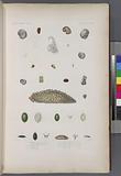 Mollusques: 1, – 8, Ampullacere aveline, (Nouvelle-Zélande.), 9, Sa variéte, pour la coquille seulement, 10, - 12