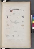 Mollusques: 1, – 4, Junethine commune (Étude de la.) (Océan Atlantique.), 5, - 8