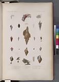 Mollusques: 1, – 3, Fuseau filamenteux, 4, - 7, Pleurotome tou-de-babel, 8, - 9, Pleurotome hérissé, 10, 11