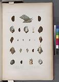 Mollusques: 1, – 3, Pourpre nattée, (Nouvelle-Zélande.), 4, - 8, Pourpre seau, (Nouvelle-Zélande.), 9, - 11