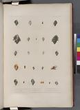 Mollusques: 1, – 4, Pourpre, Marron d'inde var, 5, 6, Autre variété, 7, - 9, Pourpre, Nassoïde, N, 10