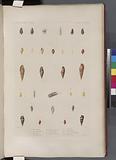 Mollusques: 1, – 4, Mitre marbrée, 5, 6, Mitre de Vanikoro, N, 7, – 9, Mitre jaune, N10, – 13, Mitre petit-taon