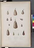 Mollusques: 1, Cône, Radis, 2, Cône, Tine, 3, Cône, MinimeCône, 4, 4', Cône, Damier, 5, 5', Cône, Hébraïque