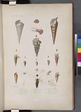 Mollusques: 1, – 3, Cérite, Lisse, N, 4, Cérite, Marbrée, N, 5, 6, Cérite, Noduleuse, 7, 8, Cérite, Rayée, 9, - 12